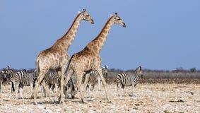 Жирафы и зебры Стоковое Изображение