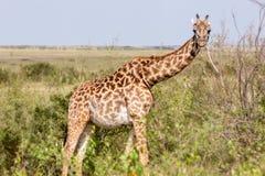 Жирафы идут в кожух стоковое изображение rf