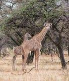 Жирафы младенца Стоковые Фото