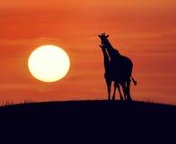 Жирафы на заходе солнца Стоковая Фотография RF