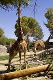 Жирафы на зоопарке парка Reid, Tucson, Аризоне Стоковые Фото
