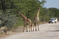 Жирафы на дороге Стоковые Изображения