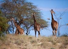 Жирафы на саванне. Сафари в Amboseli, Кении, Африке Стоковые Фотографии RF