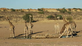 Жирафы на waterhole сток-видео