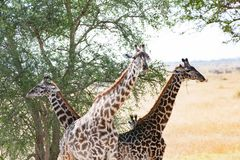 Жирафы под африканским деревом терния верблюда, Танзанией стоковая фотография rf