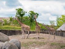 Жирафы семьи из трех человек Стоковое Изображение