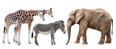 Жирафы, слон и зебры стоковое фото
