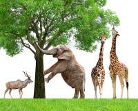 Жирафы, слон и Kudu стоковое фото