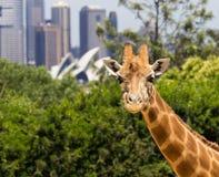 Жирафы с фантастичным взглядом Сиднея Стоковое Изображение