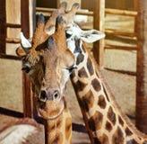 Жирафы. Стоковая Фотография