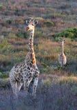 Жирафы Стоковые Изображения RF