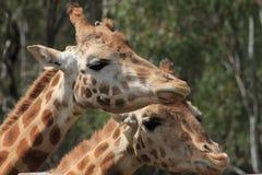 Жирафы Стоковое Фото