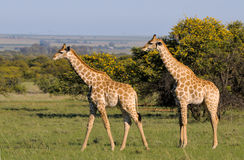 Жирафы 2 Стоковая Фотография
