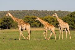 Жирафы 3 Стоковые Изображения
