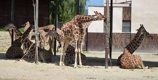 Жирафы стоковое фото rf