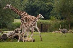 Жирафы Стоковые Фотографии RF