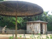 Жирафы Beals в парке в городе Бразилии стоковое фото