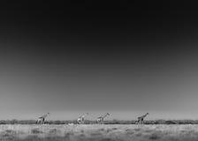 Жирафы Etosha Стоковые Изображения RF