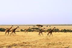 Жирафы Mara Masai Стоковые Изображения RF