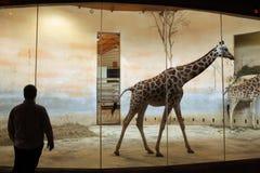 Жирафы Rothschild (rothschildi camelopardalis Giraffa) на зоопарке Праги Стоковое Фото
