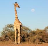 Жираф - африканский ферзь и полнолуние Стоковое Изображение RF