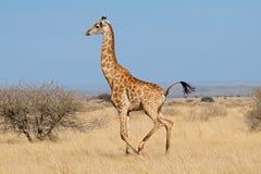 Жираф бежать на африканских равнинах Стоковое Изображение RF