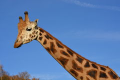 Жираф вверх в облаках Стоковое Фото