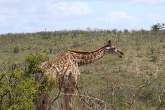 Жираф вызывая вне Стоковая Фотография RF