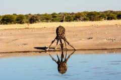 Жираф выпивая на waterhole с симпатичным отражением Стоковые Фотографии RF