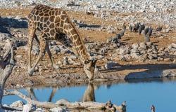 Жираф выпивая на waterhole Стоковая Фотография RF