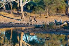 Жираф выпивая от waterhole на заходе солнца Сафари в национальном парке Mapungubwe, Южная Африка живой природы Сценарный мягкий т Стоковая Фотография RF