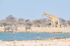 Жираф выпивая от waterhole Сафари в национальном парке Etosha, известное назначение живой природы перемещения в Намибии стоковые изображения