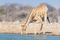 Жираф выпивая от waterhole Сафари в национальном парке Etosha, известное назначение живой природы перемещения в Намибии стоковое изображение