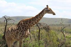 Жираф вытаращить в расстояние Стоковое Изображение