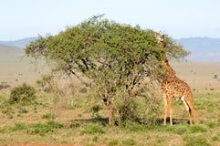жираф вытягивая язык Стоковая Фотография RF