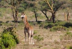Жираф в африканском запасе игры сафари Стоковые Изображения RF