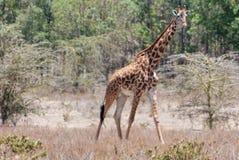 Жираф в африканском запасе игры сафари Стоковое фото RF
