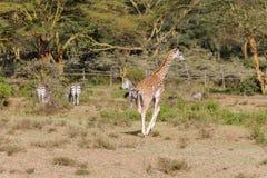 Жираф в африканском запасе игры сафари Стоковая Фотография RF