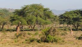 Жираф в африканском запасе игры сафари Стоковые Изображения