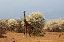 Жираф в африканском запасе игры сафари Стоковое Фото