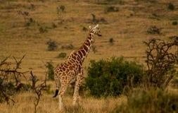 Жираф в африканском запасе игры сафари Стоковое Изображение