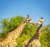 Жираф в Африке Стоковое фото RF