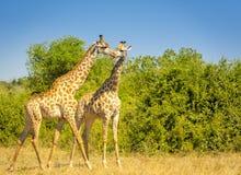 Жираф в Африке Стоковые Фото