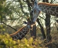 Жираф в Ботсване Стоковая Фотография