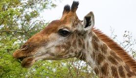 Жираф в Буше в Южной Африке стоковое фото rf