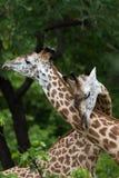 Жираф в влюбленности Стоковая Фотография RF