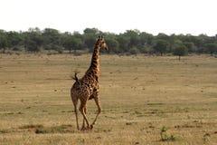 Жираф в действии Стоковое Изображение RF