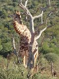 Жираф в запасе игры Madikwe, Южная Африка стоковые изображения rf