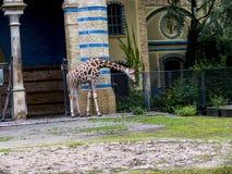 Жираф в зоологических садах и аквариум в Берлине Германии Зоопарк Берлина посещать зоопарк в Европе, Стоковая Фотография RF