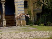 Жираф в зоологических садах и аквариум в Берлине Германии Зоопарк Берлина посещать зоопарк в Европе, Стоковая Фотография